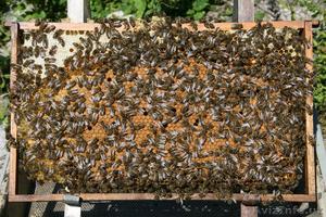 Продам пчелопакеты - Изображение #1, Объявление #1073144