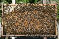 Продам пчелопакеты, Объявление #1073144